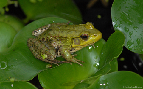 Frog on Lilly Pad wallpaper