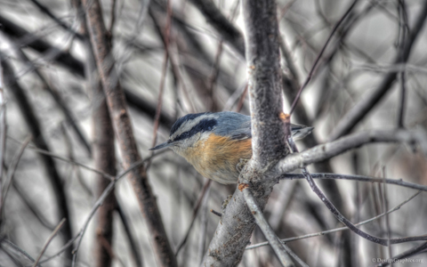 Nuthatch wallpaper #2