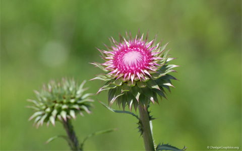 Thistle wallpaper
