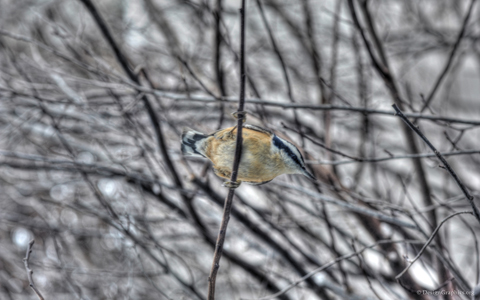 Nuthatch wallpaper